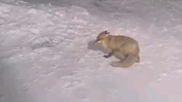 Туристы угостили лису печеньем в горах Сочи