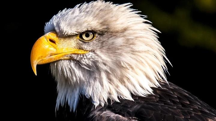 Спасти рядового орлана. Электрики и ветеринары Саратова помогли выжить редкой птице