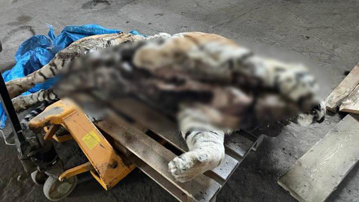 Приморские силовики задержали браконьеров, убивших амурского тигра