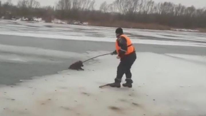 Спасатели помогли собакам вытащить друга из воды. Видео
