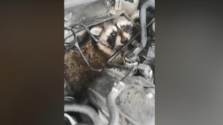 """""""Делимобиль"""" забрал енота, найденного под капотом машины каршеринга в Домодедово"""