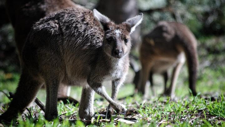 Кенгуру стали настоящей угрозой для растительного покрова некоторых регионов Австралии.