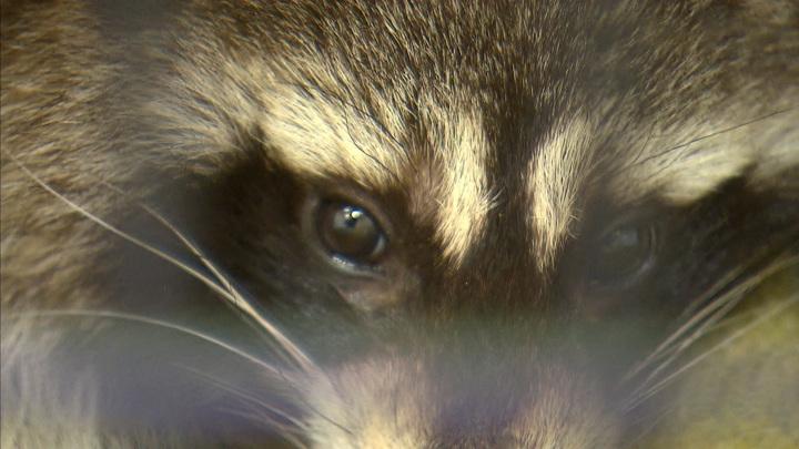 Зверь под капотом: как в аэропорту Домодедово почти сутки спасали енота