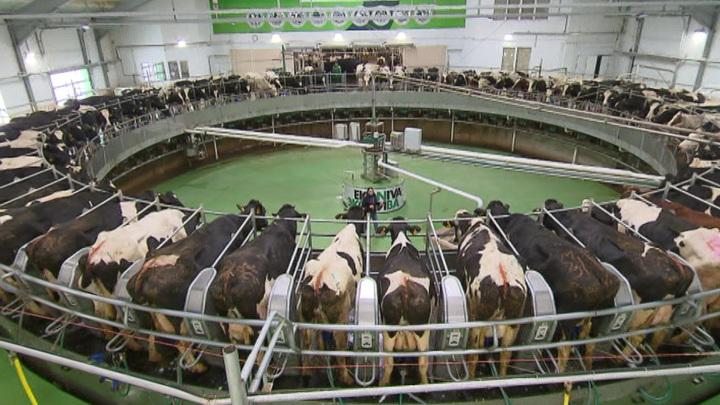 """Три тысячи тонн молока за сутки: новый рекорд """"ЭкоНивы"""""""