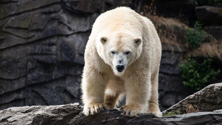 В зоопарке Детройта белый медведь убил медведицу