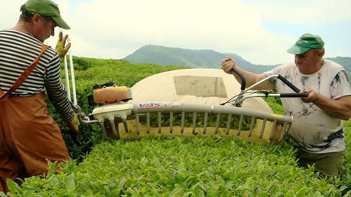 На расширение чайных плантаций в Сочи выделили 7 млн рублей