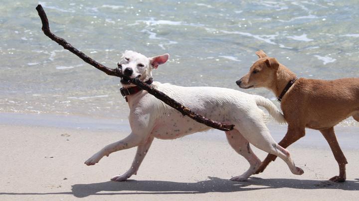 Собаки могут чаще играть друг с другом, потому что это нравится хозяевам.
