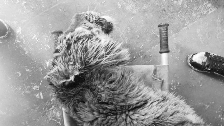Истощенная тигрица, за жизнь которой почти месяц боролись хабаровские врачи, умерла