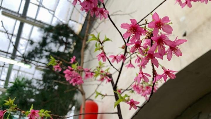 В Ботаническом саду Петербурга зацвела первая в этом году сакура