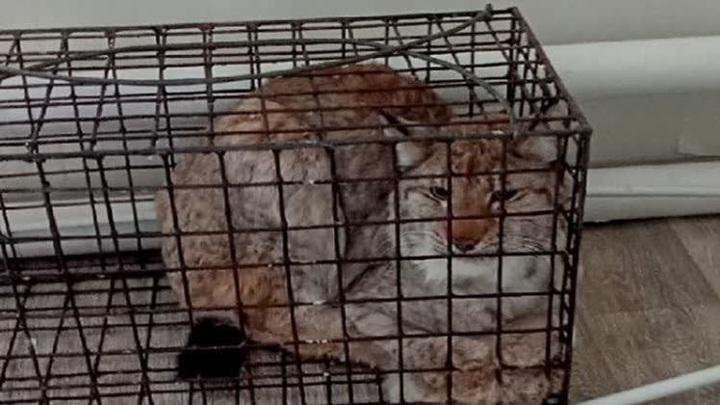 В Пермском крае охотники поймали рысь, которая гуляла по территории больницы