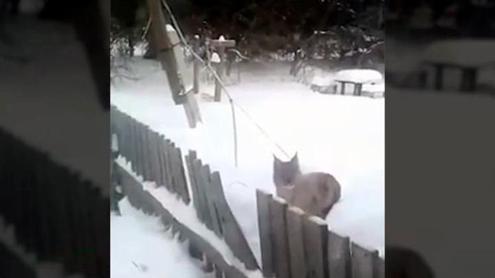 В Пермском крае рыси выходят к людям