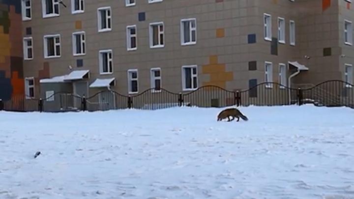 На территории новосибирского детского сада гуляет лисица
