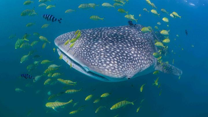 Китовая акула не представляет опасности для человека и питается в основном планктоном.