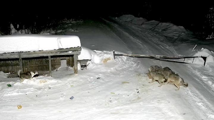 В Пермском крае ликвидировали стаю волков, загрызшую сторожевого пса
