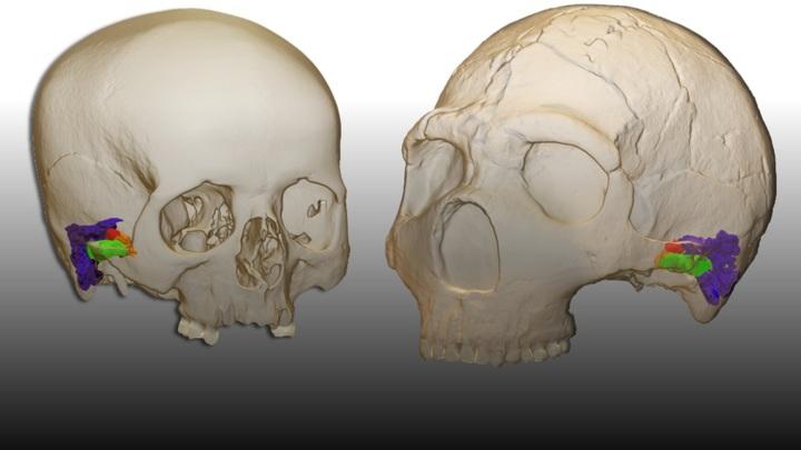 Трёхмерная модель строения слуховых органов у современного человека (слева) и неандертальца (справа).