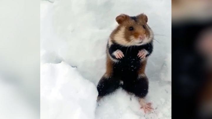 При уборке снега нижегородец наткнулся на милого хомяка