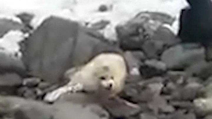 В Приморье люди заласкали детеныша тюленя до смерти