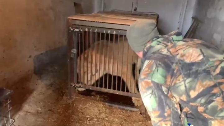 Полицейские спасли львицу в Иркутской области