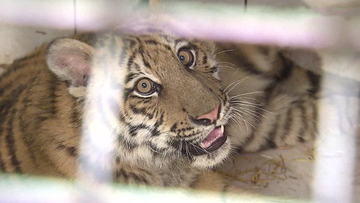 В столице спасли замученного бенгальского тигренка