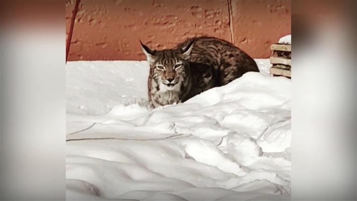 В Химках рысь выпала из окна: в шоке оказались и жители, и животное