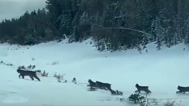 В Пермском крае засняли на трассе рысь с котятами
