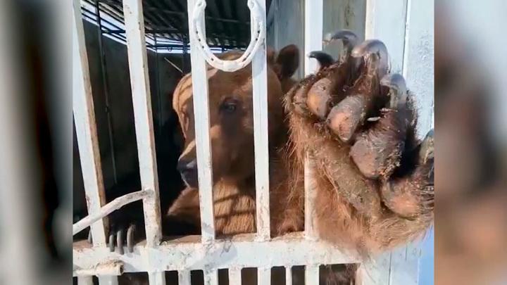 На башкирской ферме сняли на видео дружелюбного медведя