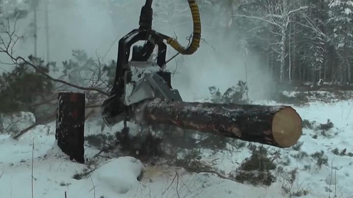 В сговоре с лесниками в Красноярском крае срубили 1,5 тысячи деревьев