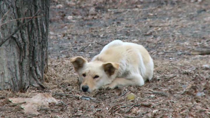 Бродячие собаки загрызли пенсионерку у родного дома в Бурятии