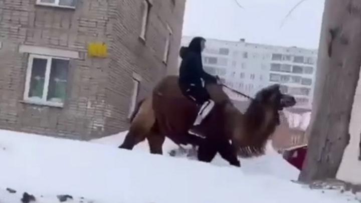 По улицам Новосибирска проскакал наездник на верблюде