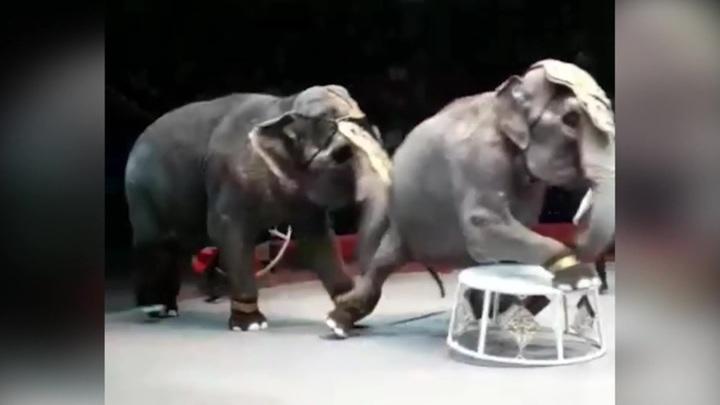 Драка в Казанском цирке: слоны нападают друг на друга уже не впервые