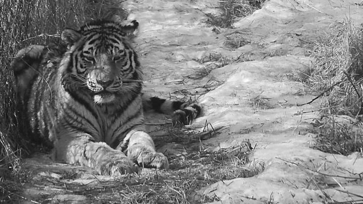 В Приморском центре спасения умер тигр, нападавший на собак