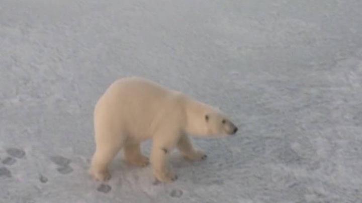 Белая медведица из Якутии прилетит на лечение в Москву