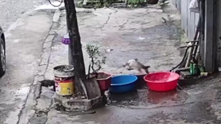 Побег свободолюбивой рыбы в канализацию попал на видео
