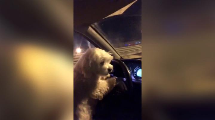 В Тюмени женщина дала порулить собаке ради хайпа в Instagram