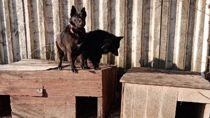 Разбитое собачье сердце: тверского пса, потерявшего подругу, забрали люди