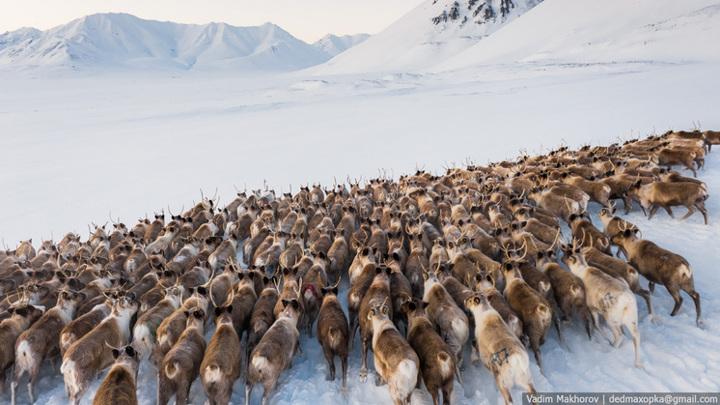 Чукотка достойна внимания: новосибирский фотограф сделал снимки 400 оленей