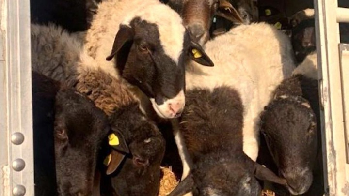 Задержанные натаможенном терминале впорту овцы остаются вАрхангельске