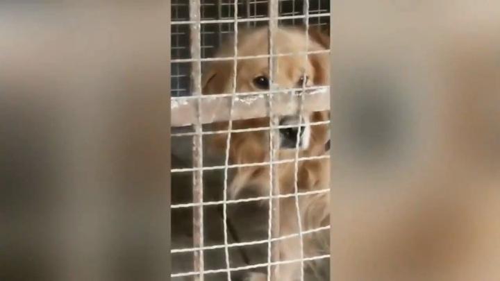 Китайский зоопарк показывал посетителям собаку вместо льва