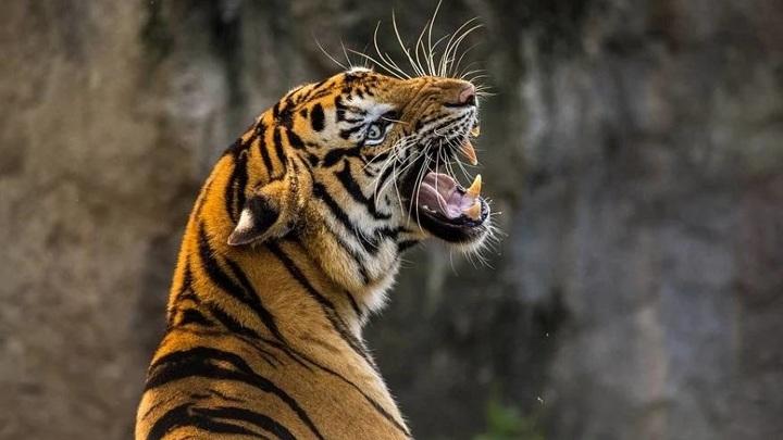 В Чили сотрудница зоопарка погибла в результате нападения тигра