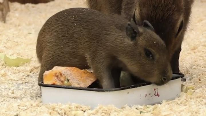 В Ленинградском зоопарке появился на свет детеныш капибары