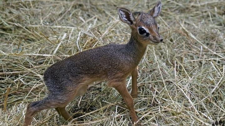 Новосибирский зоопарк поделился милыми фото малышей антилоп дикдиков