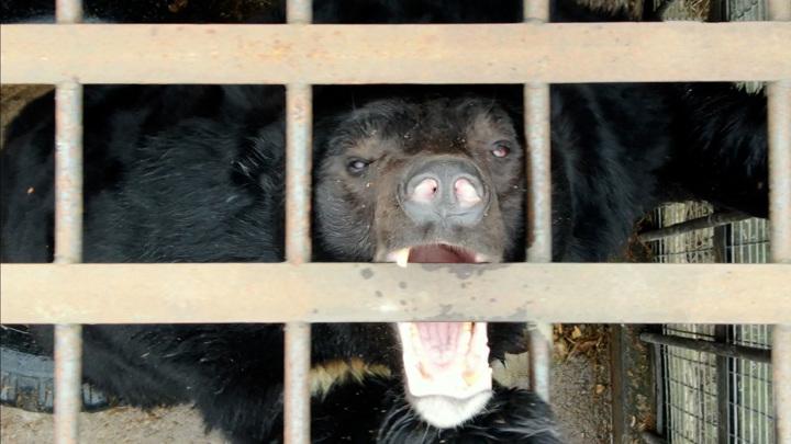 В Англии застрелены медведицы, сбежавшие из вольера