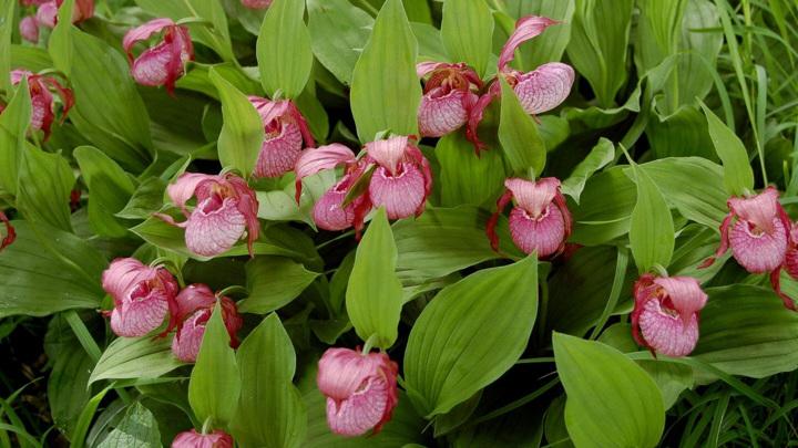 """Орхидеи рода венерин башмачок обнаружены на территории возможного будущего """"Заповедника орхидей""""."""