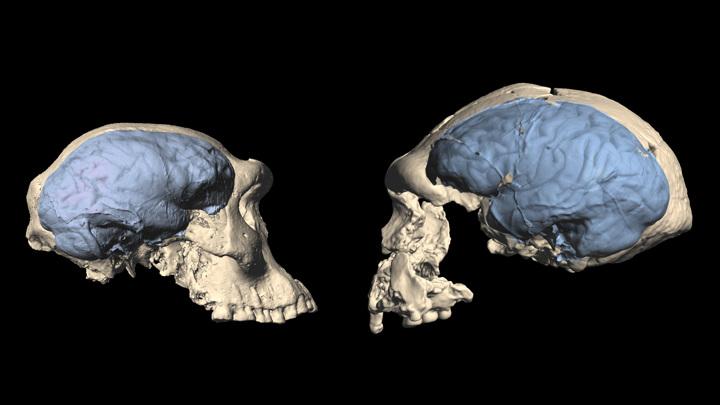 "Реконструкция мозга ""человека из Дманиси"" (слева) и Homo erectus из Индонезии (справа)."