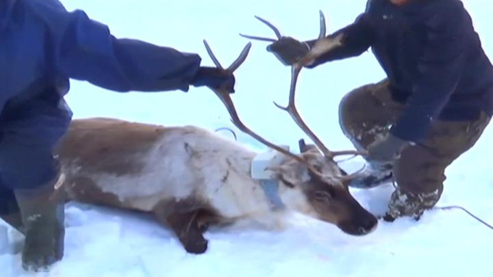 На севере Красноярского края завершилась экспедиция по изучению северного оленя