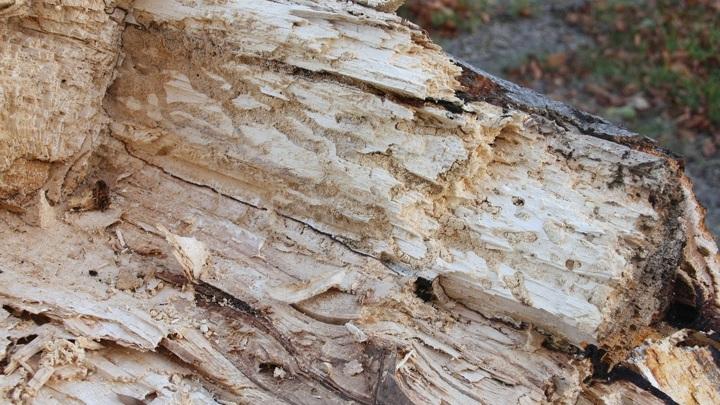 СК выясняет обстоятельства падения дерева на человека в Барнауле