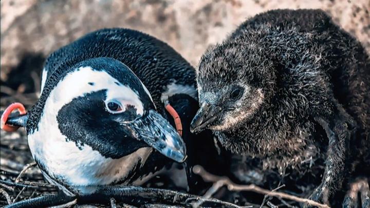 Красноярский зоопарк предложил придумать имя для пингвиненка