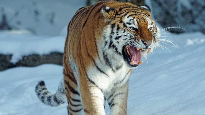 Неловкая встреча: в Лазовском заповеднике тигр вышел к инспекторам
