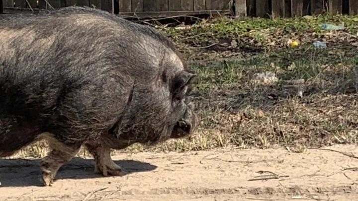 Большая свинья гуляла вдоль дороги в Твери и пугала детей
