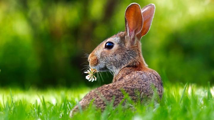 Домашние кролики могут достигать внушительных размеров и весить 8 кг, но их дикие сородичи не могут похвастаться такими данными.